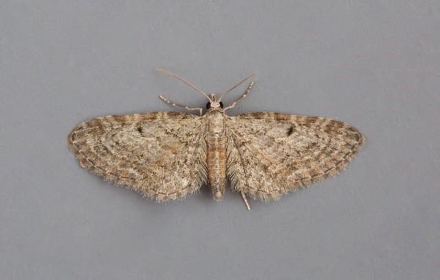 Eupithecia tenuiata - Slender Pug, Austerfield.