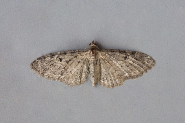 Eupithecia virgaureata - Golden-rod Pug, Woodside Nurseries, Austerfield.