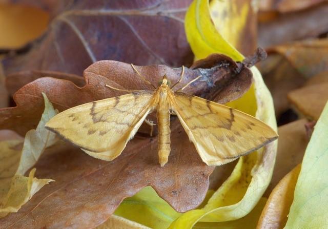 Gandaritis pyraliata - Barred Straw, Woodside Nurseries, Austerfield.