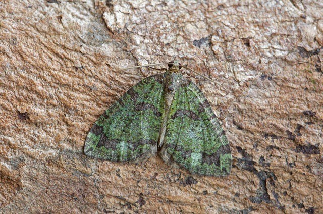 Hydriomena furcata - July Highflyer, Woodside Nurseries, Austerfield.