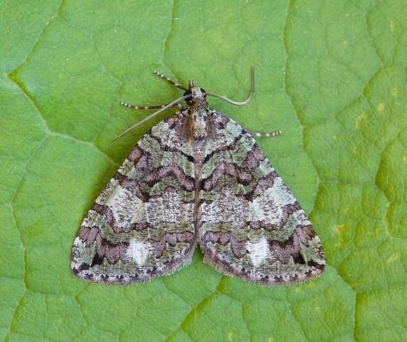 Hydriomena furcata - July Highflyer, Woodside Nurseries, Austerfield.