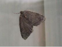 Hydriomena furcate - July Highflier, Cusworth Lane, Doncaster