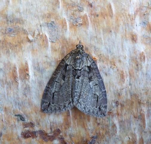 Hydriomena impluviata - May Highflyer, Woodside Nurseries, Austerfield.