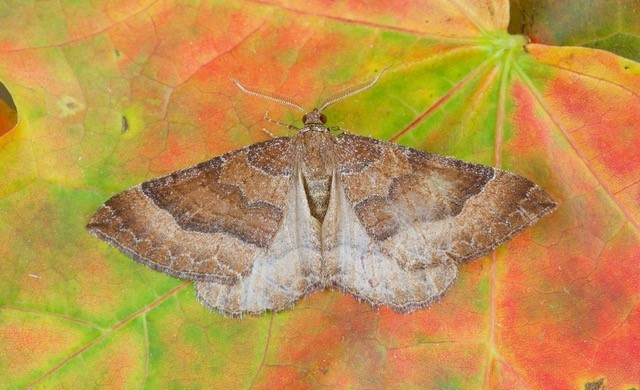 Larentia clavaria - The Mallow, Woodside Nurseries, Austerfield