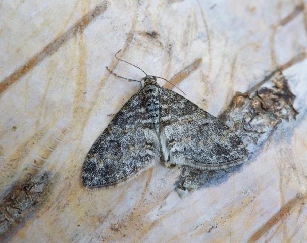 Lobophora halterata - The Seraphim, Woodside Nurseries, Austerfield.