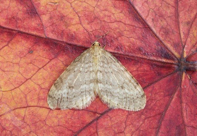 Operophtera brumata - Winter Moth, Woodside Nurseries, Austerfield.
