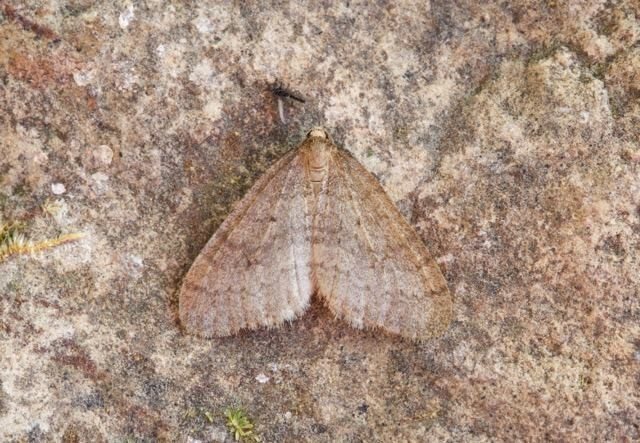 Operophtera brumata - Winter Moth, Woodside Nurseries, Austerfield.