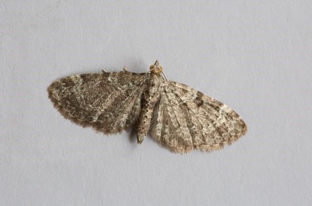 Pasiphila chloerata - Sloe Pug, Woodside Nurseries, Austerfield.