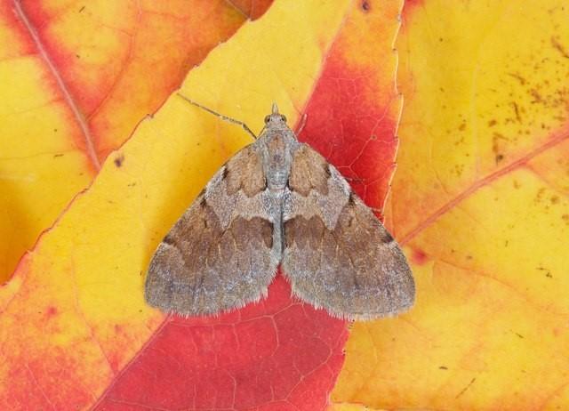 Pennithera firmata - Pine Carpet, Woodside Nurseries, Austerfield.