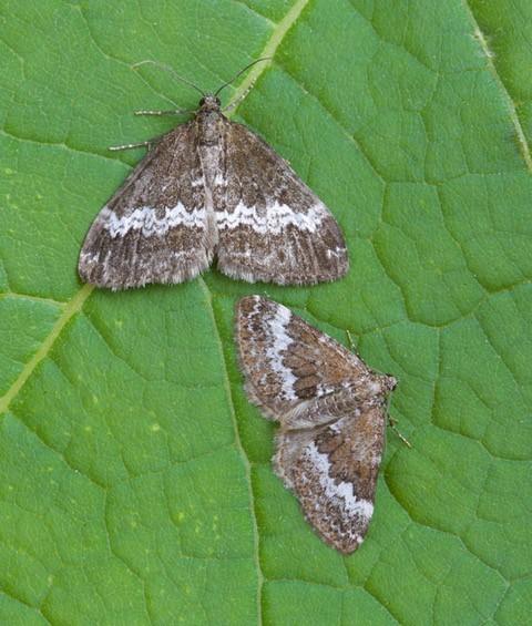 Perizoma affinitata - Rivulet and Perizoma alchemillata - Small Rivulet, Woodside Nurseries, Austerfield.