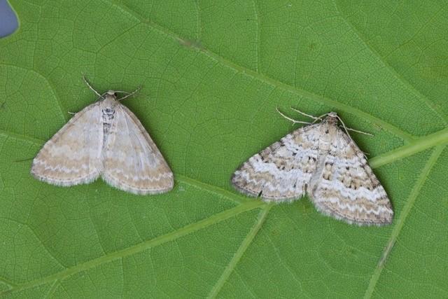 Perizoma albulata - Grass Rivulet, Woodside Nurseries, Austerfield.