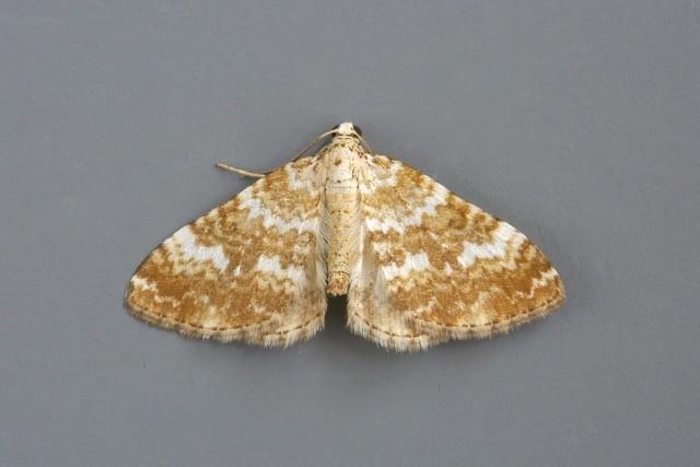 Perizoma flavofasciata - Sandy Carpet, Woodside Nurseries, Austerfield.