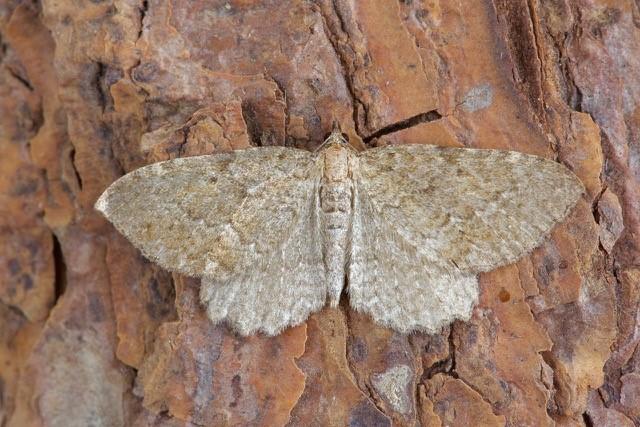 Philereme vetulata - Brown Scallop, Woodside Nurseries, Austerfield.