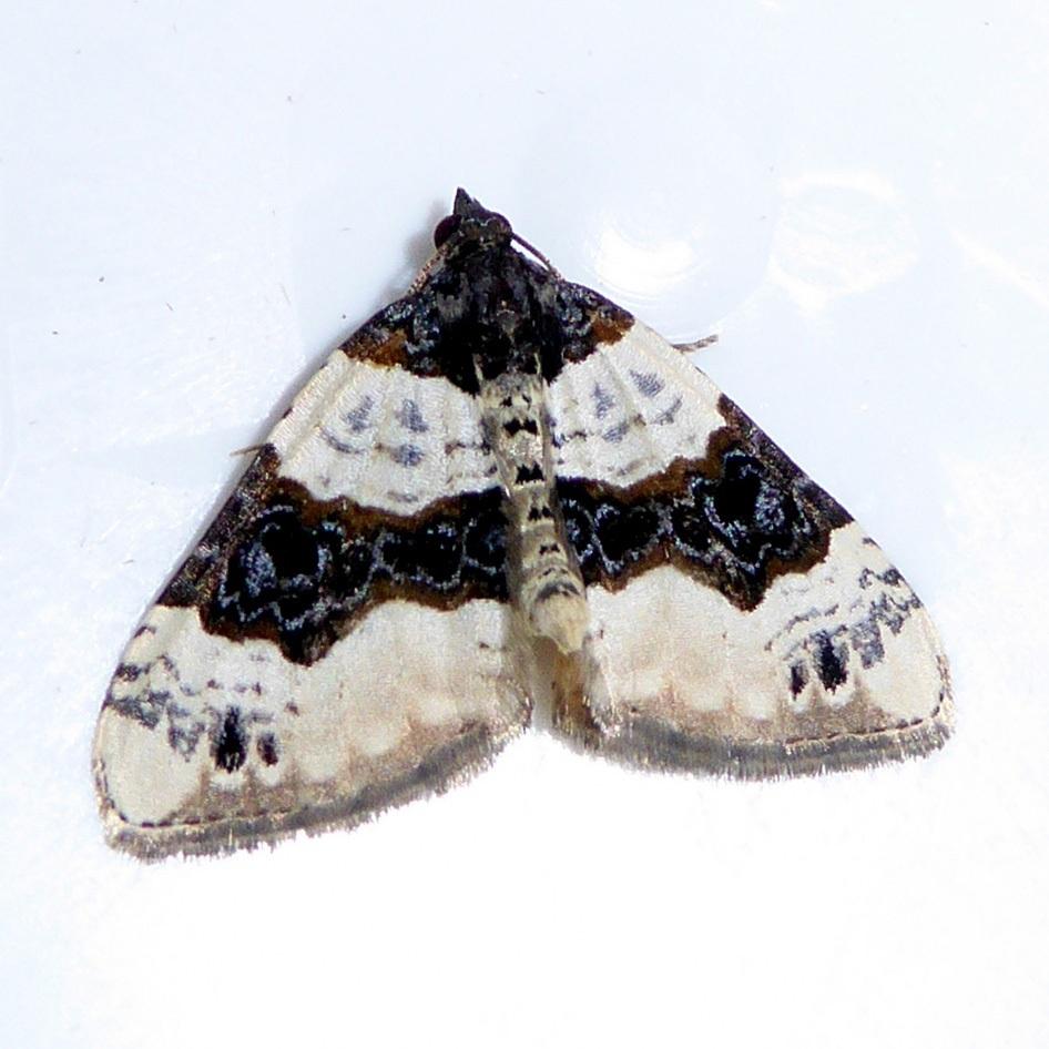 Cosmorhoe ocellata - Purple bar, Lindholme trap