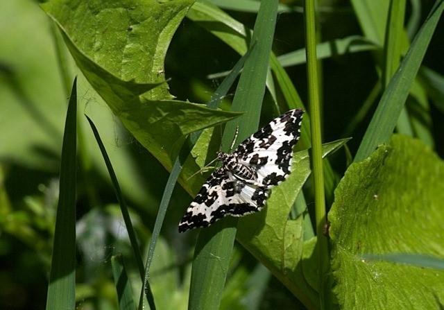 Rheumaptera hastata - Argent and Sable, Bishop Wood, Yorks.