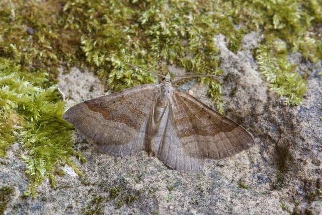 Scotopteryx chenopodiata - Shaded Broad-bar, Woodside Nurseries, Austerfield.