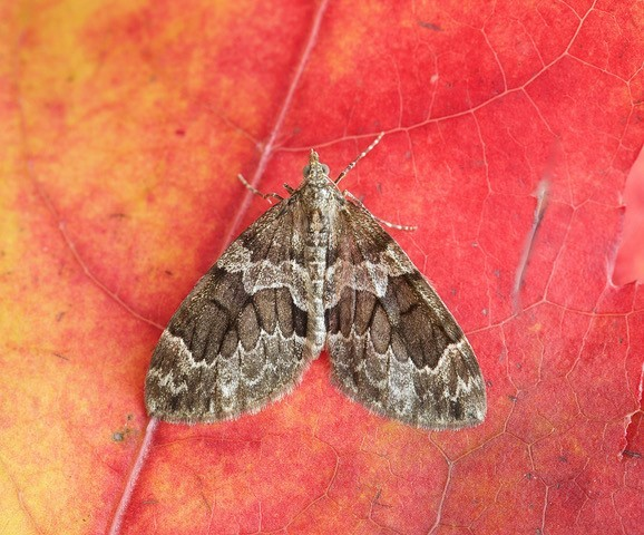 Thera britannica - Spruce Carpet, Woodside Nurseries, Austerfield.