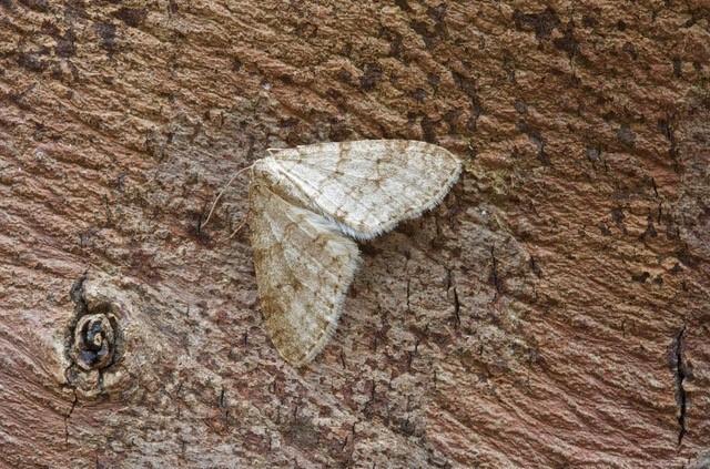 Trichopteryx carpinata - Early Tooth-striped, Woodside Nurseries, Austerfield.