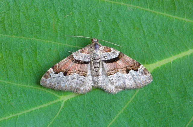 Xanthorhoe designata - Flame Carpet, Woodside Nurseries, Austerfield.