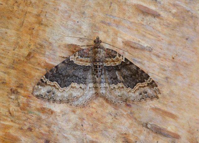 Xanthorhoe ferrugata - Dark-barred Twin-spot Carpet, Woodside Nurseries, Austerfield.