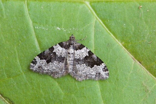 Xanthorhoe fluctuata - Garden Carpet, Woodside Nurseries, Austerfield.