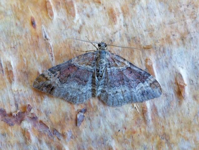 Xanthorhoe spadicearia - Red Twin-spot Carpet, Woodside Nurseries, Austerfield.