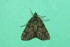 Chloroclysta siterata - Red-green Carpet - Kirk Smeaton