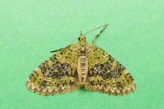 Acasis viretata - Yellow-barred Brindle - Kirk Smeaton