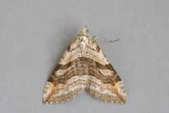 Aplocera efformata - Lesser Treble-bar, Woodside Nurseries, Austerfield.