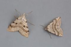 Aplocera plagiata - Treble-bar and Aplocera efformata - Lesser Treble-bar, Woodside Nurseries, Austerfield.