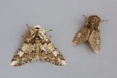 Biston strataria - Oak Beauty, (normal and aberration), Woodside Nurseries, Austerfield.