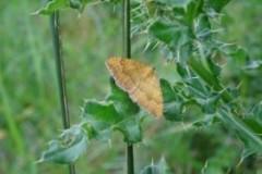 Camptogramma bilineata bilineata - Yellow Shell moth, Cusworth Hall and Park