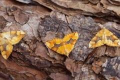 Cidaria fulvata - Barred Yellow, Woodside Nurseries, Austerfield.