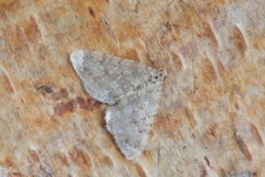 Colostygia multistrigaria - Motled Grey, Woodside Nurseries, Austerfield.