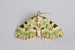 Colostygia pectinataria - Green Carpet, Woodside Nurseries, Austerfield.