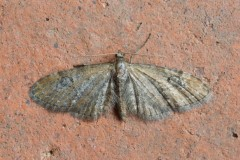 Eupithecia vulgata - Common Pug, Woodside Nurseries, Austerfield.