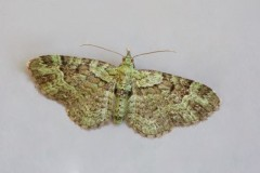 Pasiphila rectangular - Green Pug, Woodside Nurseries, Austerfield.