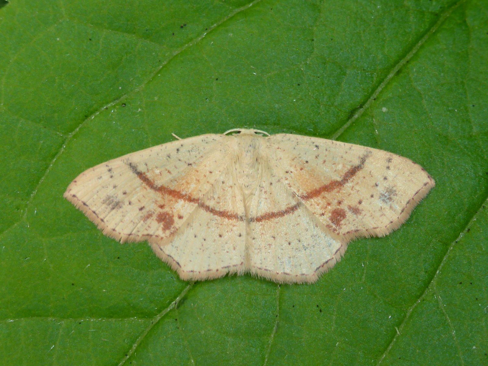 Cyclophora punctaria - Maiden's Blush - Kirk Smeaton