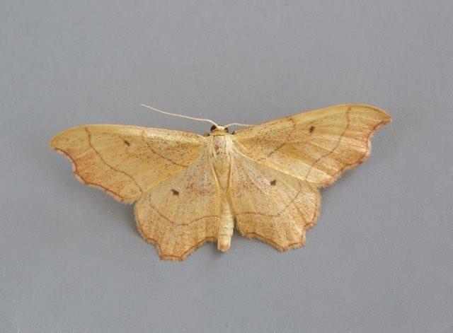 Idaea emarginata - Small Scallop, Woodside Nurseries, Austerfield.