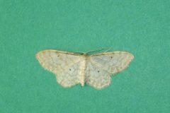 Idaea fuscovenosa  - Dwarf Cream Wave - Kirk Smeaton