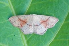 Cyclophora punctaria - Maiden's Blush, Woodside Nurseries, Austerfield.