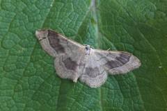 Idaea aversata - Riband Wave, Woodside Nurseries, Austerfield.