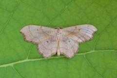 Idaea emarginata - Small Scallop, (male), Woodside Nurseries, Austerfield.