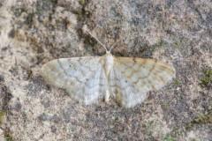 Idaea fuscovenosa - Dwarf Cream wave, Woodside Nurseries, Austerfield.