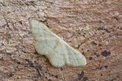 Idaea straminata - Plain Wave, Woodside Nurseries, Austerfield.