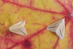 Rhodometra sacraria - The Vestal, Woodside Nurseries, Austerfield.