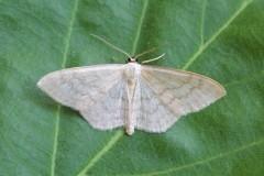 Scopula floslactata - Cream Wave, Woodside Nurseries, Austerfield.