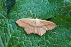 Scopula imitaria - Small Blood-vein, Woodside Nurseries, Austerfield.