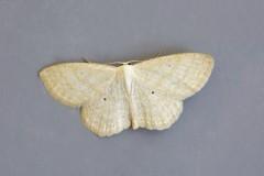 Scopula immutata - Lesser Cream Wave, Woodside Nurseries, Austerfield.