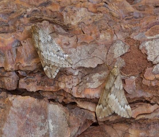 Alsophila aescularia - March Moth, Woodside Nurseries, Austerfield.